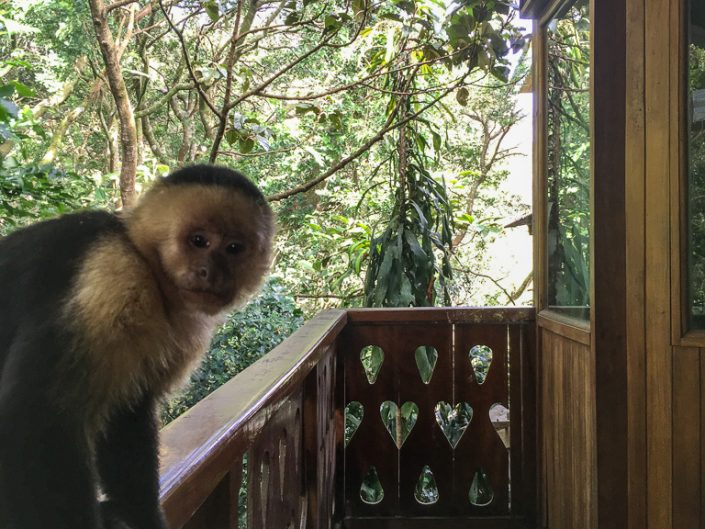 Capuchin monkey at our hotel in Monteverde.