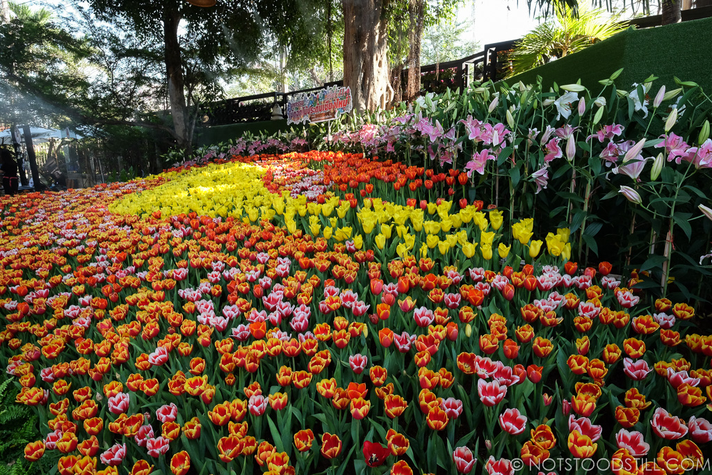 Tulips at the Chiang Mai Flower Festival, Buak Hard Park.