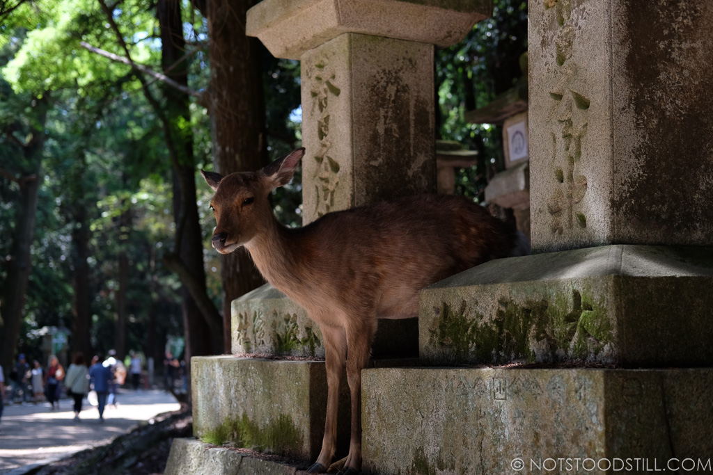 Deer roam freely around the parks and temples